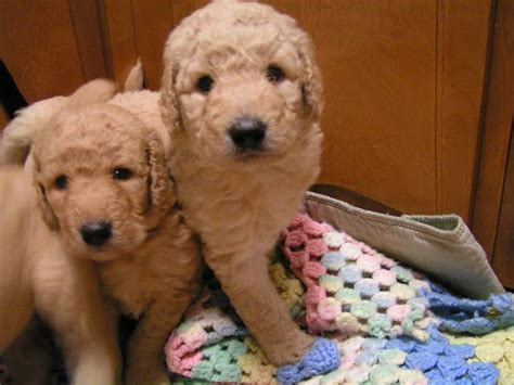 mini goldendoodle new york goldendoodle puppies for sale adoption from oswego new