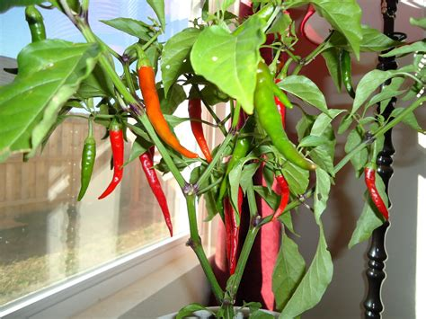 plants to grow indoors 12 healthy vegetables and herbs to grow indoors the self