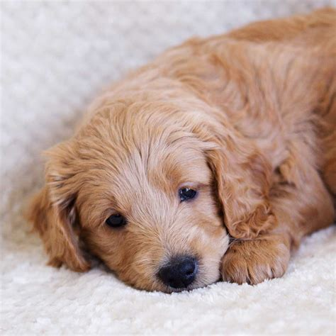 Goldendoodle Puppies Goldendoodle Mini