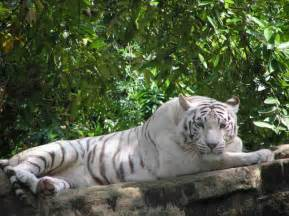 Amazing white tiger wallpaper tiger tigers tiger picture bengal
