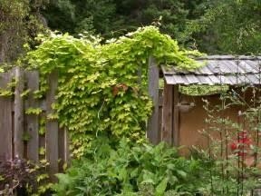 s garden golden hops vine