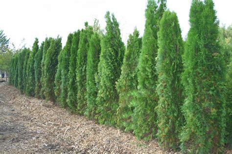 arborvitae emerald green creekside tree nursery