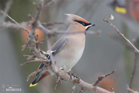bohemian waxwing pictures bohemian waxwing images