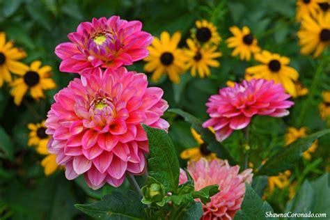 Dahlia Flower Garden How To Grow A Dahlia Flower Coronado