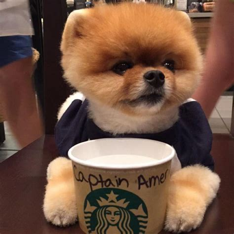 boo the pomeranian owner 86 best images about jiffpom on pomeranian