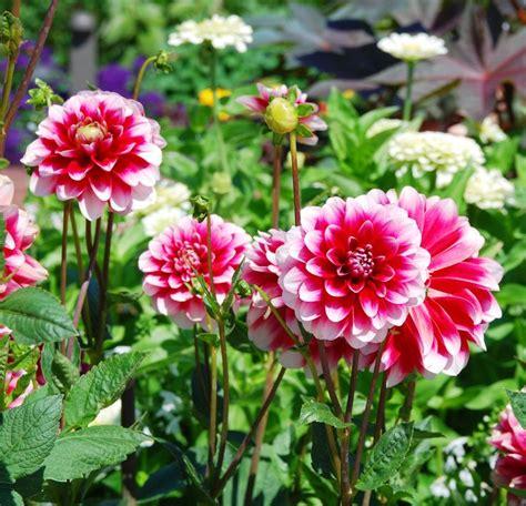 Schnittblumen Im Herbst by Die Besten 25 Dahlien Blumen Ideen Auf