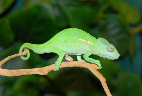 The Chameleon by Beautiful And Colorful Panther Chameleon Pictures Amazing Creatures