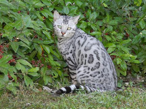 cat silver silver bengal kitten bengal kittens