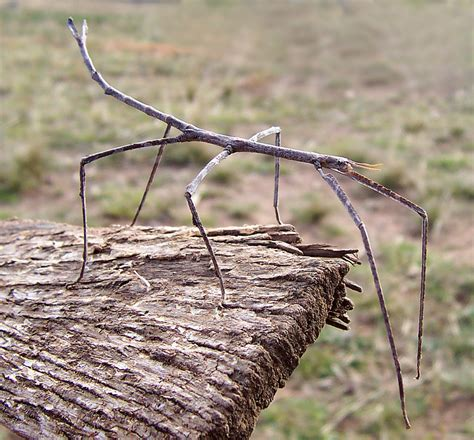 bambooweb info view topic are walking stick bugs a threat to my bammboo