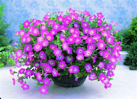 Pupuk Untuk Bunga Pot cara menanam bunga petunia tanaman hias bunga buah dan sayur