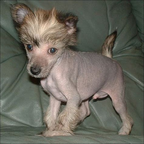 crested hairless puppies i ny gallery dogs