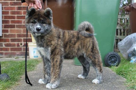 Japanese Homes For Sale brindle japanese akita inu male puppy pontefract west