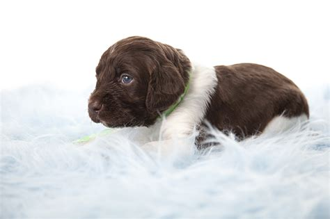 small munsterlander puppies small munsterlander pointer breed information pictures characteristics facts