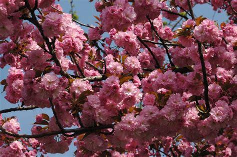 fiori di ciliegio giapponesi fiori di ciliegio giapponese copyright casiere salvatore