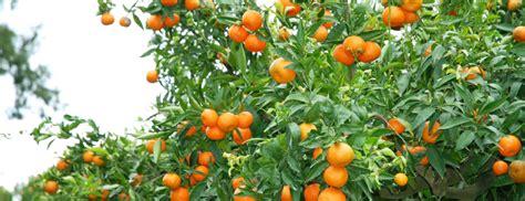 Arbre De La Clementine by Nos Engagements Jmp Cl 233 Mentines Cl 233 Mentine Corse