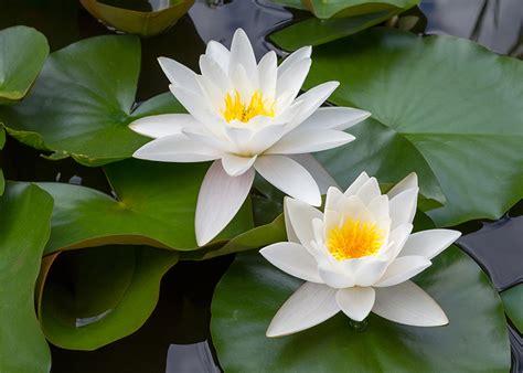 fiore di ninfea significato ninfea significato simbologia e linguaggio della ninfea