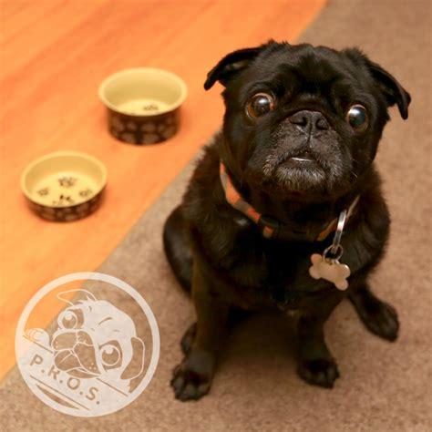 foster a pug become a foster pug rescue of sacramento