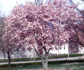 saucer magnolia tree knowledge base lookseek com