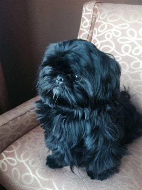 black shih tzu names black shih tzu puppy i had one she looked just like this baby such a