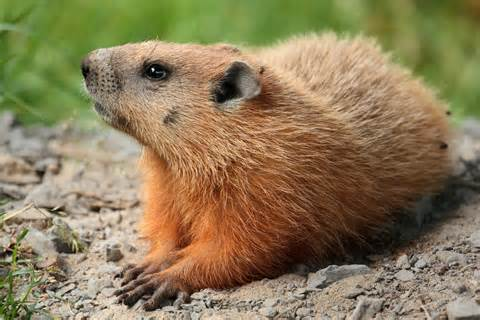 groundhog day type file marmota monax ul 04 jpg