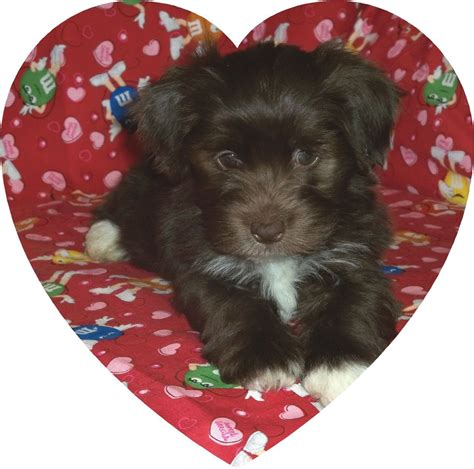 steel city havanese steel city havanese havanese breeder vernon pennsylvania