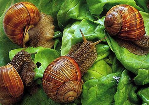 alimentazione lumache rimedi naturali bava di lumaca idee green