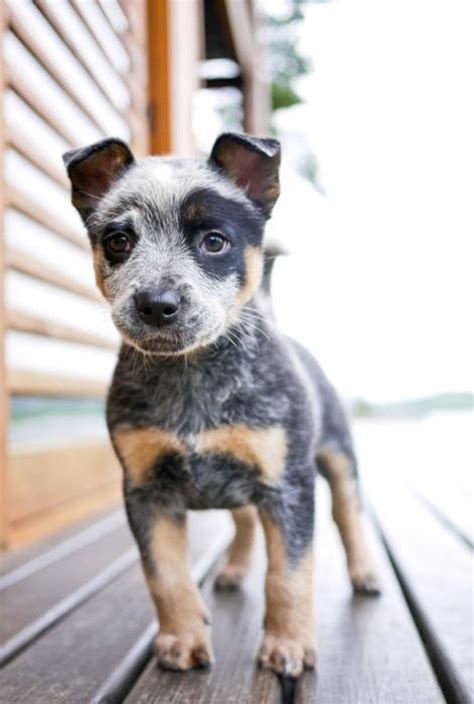 and blue heeler puppies australian haired cattle dogs