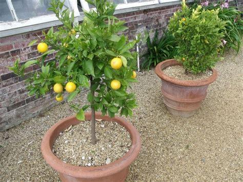 coltivazione dei limoni in vaso terra per limoni materiali per il giardino
