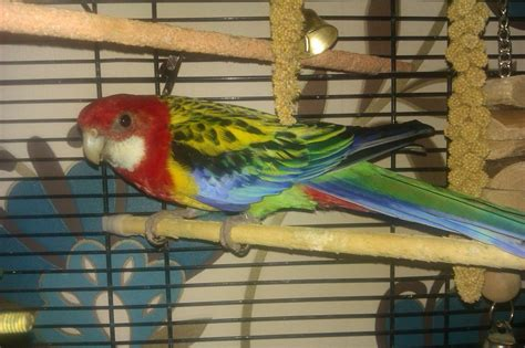 eastern rosella parrot for sale plus cage hatfield