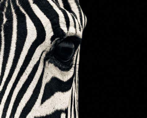 apple wallpaper zebra zebra desktop wallpapers wallpaper cave