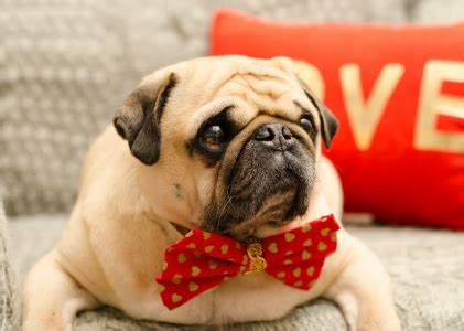 owned by pugs featured pug pictures owned by pugs