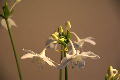 amazon lily amazon lily