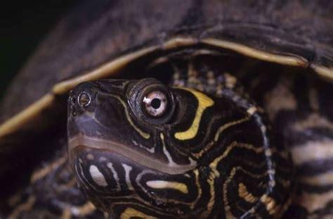 tartarughe d acqua dolce alimentazione tartarughe acqua dolce tartarughe tartarughe di acqua