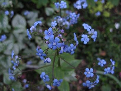 bad forget me not forget me not forget me not bad weeding the web