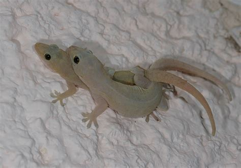 common house gecko yucatan hemidactylus frenatus common house gecko 93 106