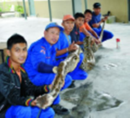 Jaring Pagar Ayam Malaysia kelab greenboc ular sawa ditangkap di dua negeri