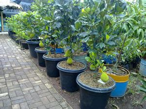 Bertanam Belimbing tanaman buah dalam pot bibit tabulot