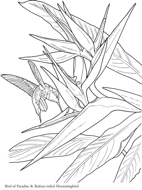 coloring pages bird of paradise welcome to dover publications