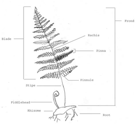diagram of a fern fern diagram www pixshark images galleries with a