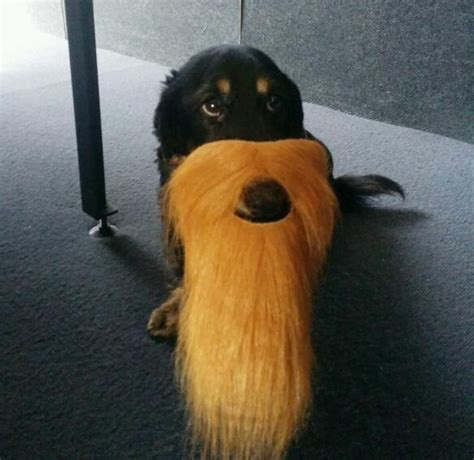 dogs with beards top 10 alpha dogs with beards