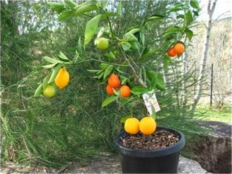 how much light does a lemon tree need leading light be fruitful