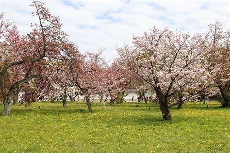 5 cherry tree grove cherry blossom reports 2018 kyoto petals falling
