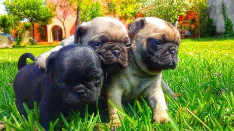 pug en venta venta perros pug anunciosgratis mx