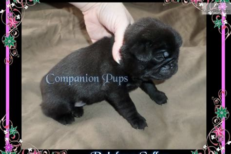 pug puppies for sale in chattanooga tn rainbow pug puppy for sale near chattanooga tennessee 69e7c9cb 3391