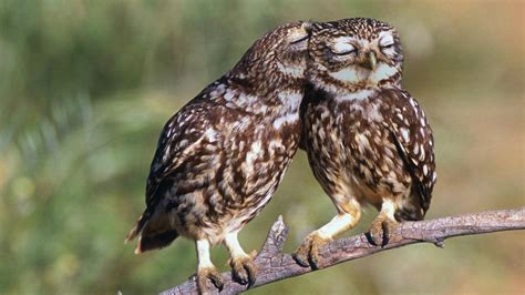 owl lover true owl love animals pinterest