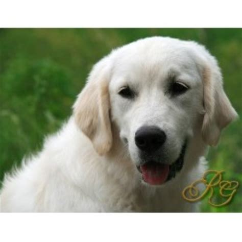 golden retriever breeders tn recherche goldens golden retriever breeder in statesville carolina
