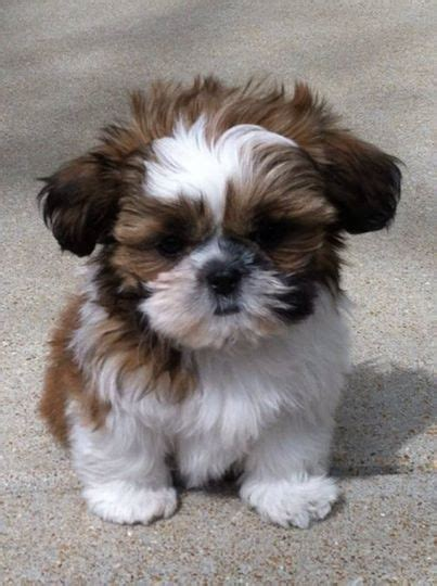 shih tzu pupies best 25 shih tzu ideas on shih tzu puppy