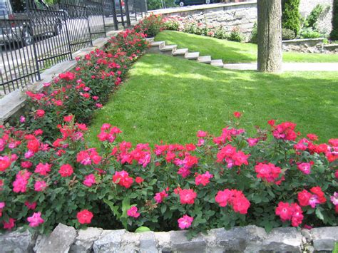 Knockout Roses Landscape Ideas A Hedge Of Knockout Roses Outdoor Living Gardening