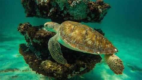 sea turtle diving  water crystal clean background