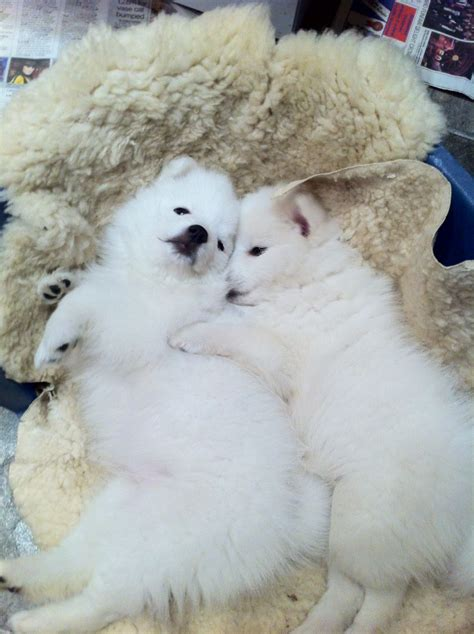 spitz puppies for sale japanese spitz registered puppies for sale port talbot neath port talbot pets4homes